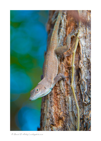 Grand Cayman Anole, East Edn, Grand Cayman Island