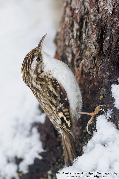 Common Treecreeper