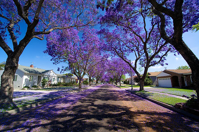 Jacarandas/Long Beach