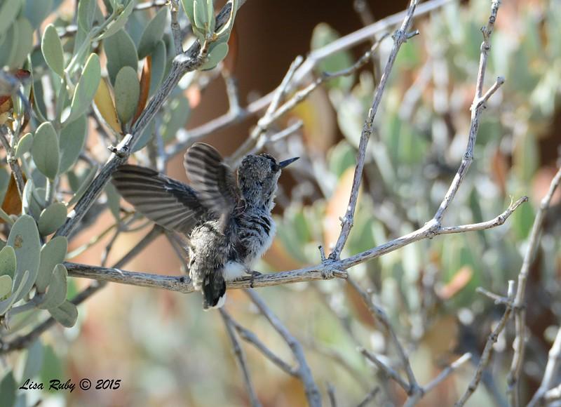 Fledgling Costa's Hummingbird - 3/15/2015  - Anza Borrego Desert State Park Visitor's Center