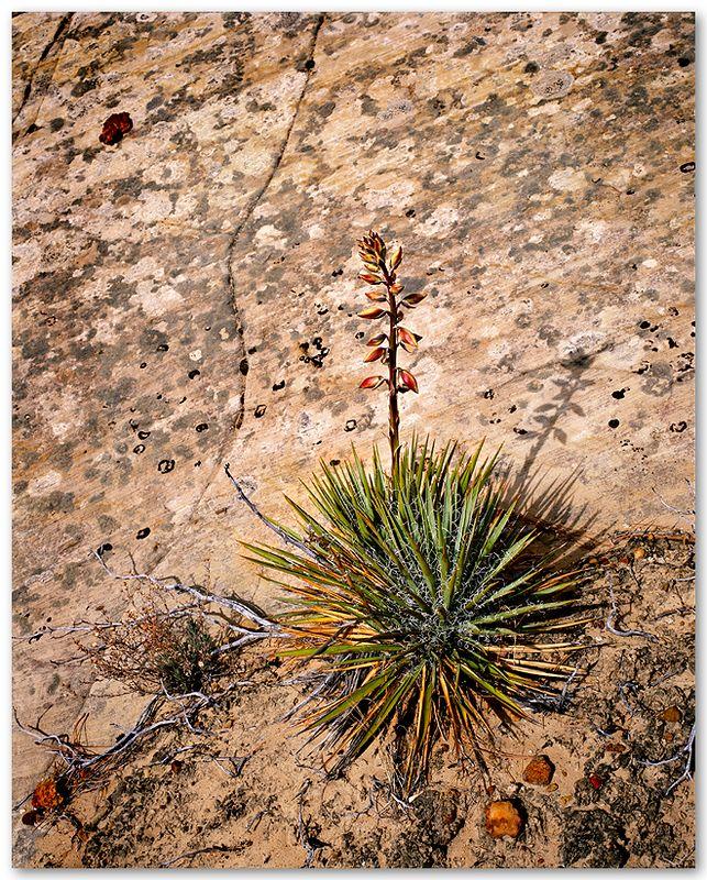 Utah Yucca