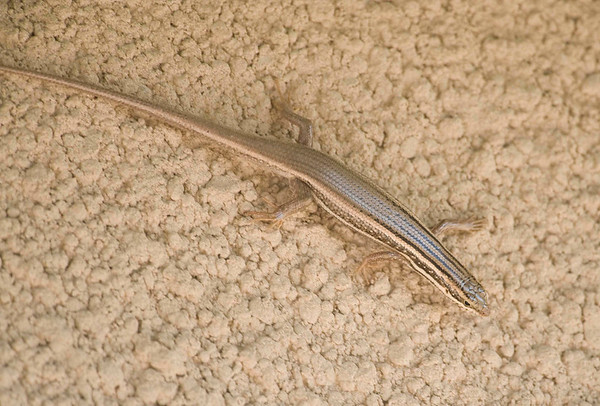 Golden Grass Skink