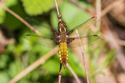 Broad-bodied Chaser ~ Blå Libel
