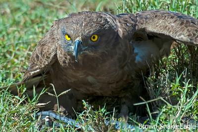 Brown Snake-Eagle, Kenya