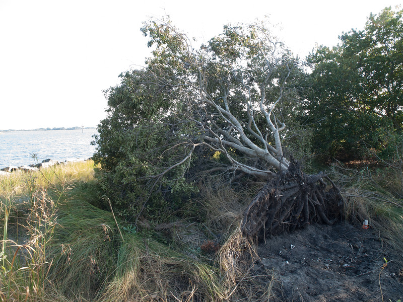 Uprooted tree beside pier, after Hurricane Matthew, September 2016