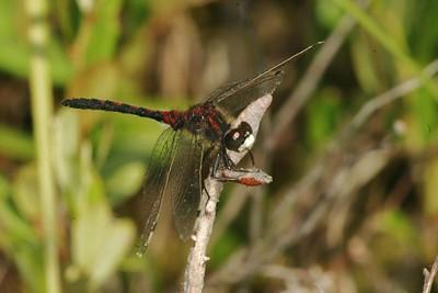 Leuchhorinnia hudsonica (Hudsonian Whiteface)