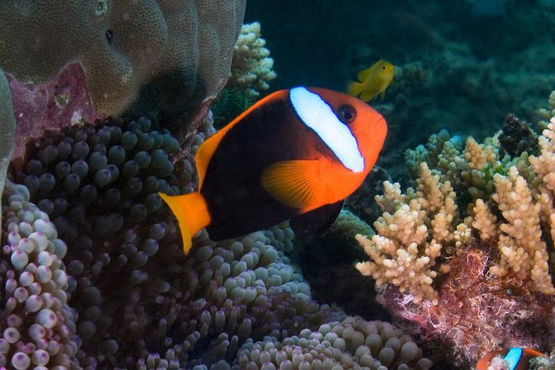 Clalrk's Anenome Fish 2.jpg
