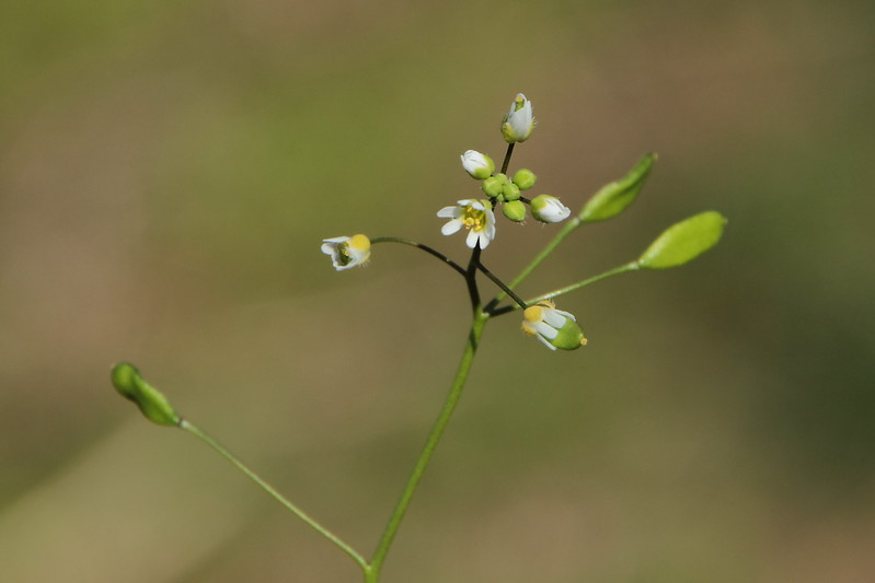 Whitlow-grass
