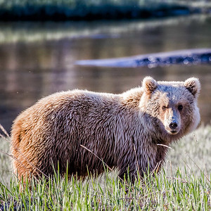 Best Alaska Bear Viewing Tour