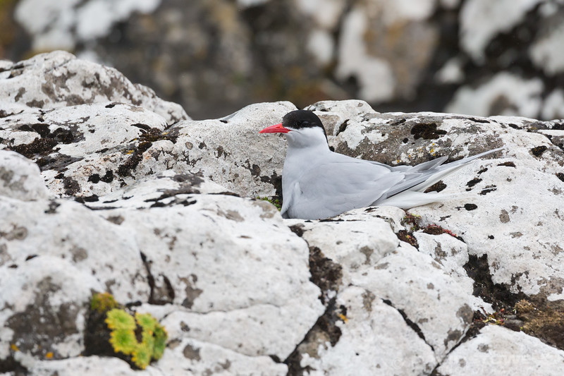 Antarctic Tern-9072
