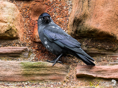 Jackdaw on a Castle Wall