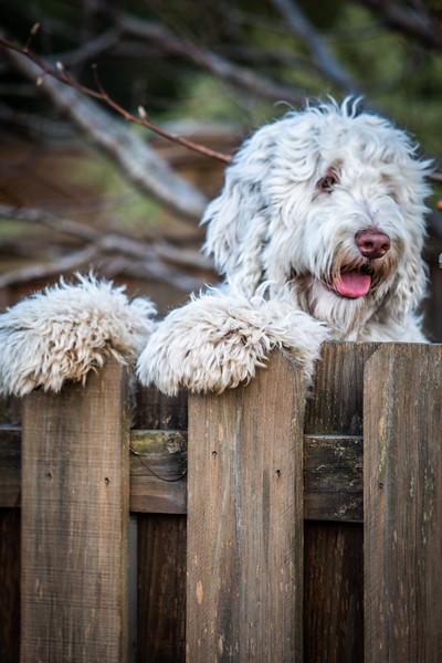 Watson on the Fence-5.jpg