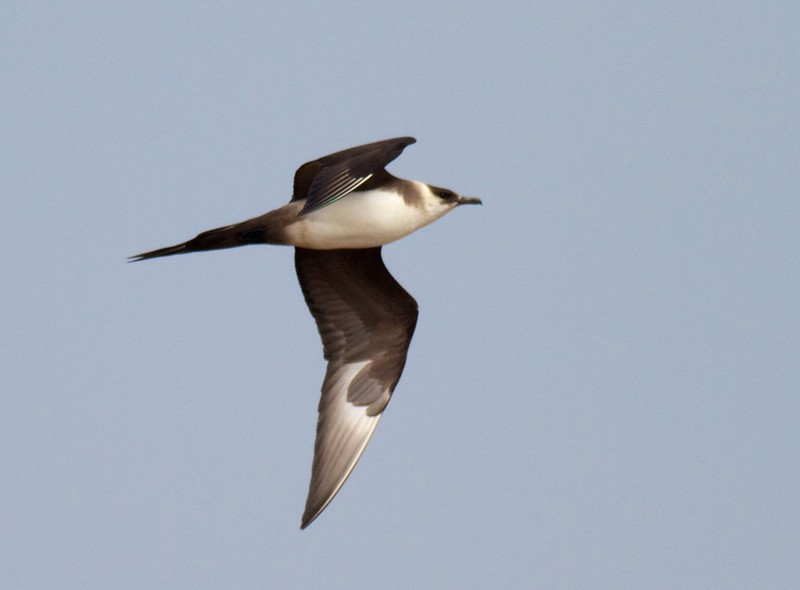 Parasitic Jaeger light adult summer Lake Superior Wisconsin Point Superior WI IMG_9313.jpg