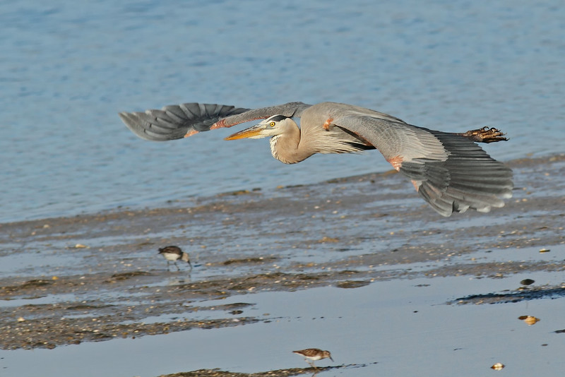 Great Blue Heron In FLight at Ding-Darling National Refuge