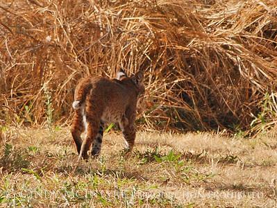 Texas Mammals