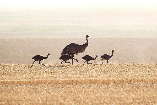 004 Casuariidae - Emu & Cassowaries