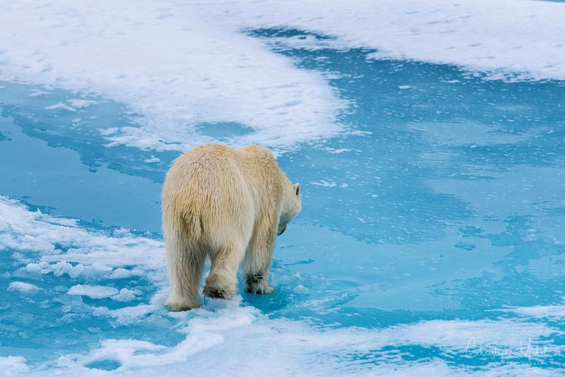 Polar Bears on Thin Ice 8.jpg
