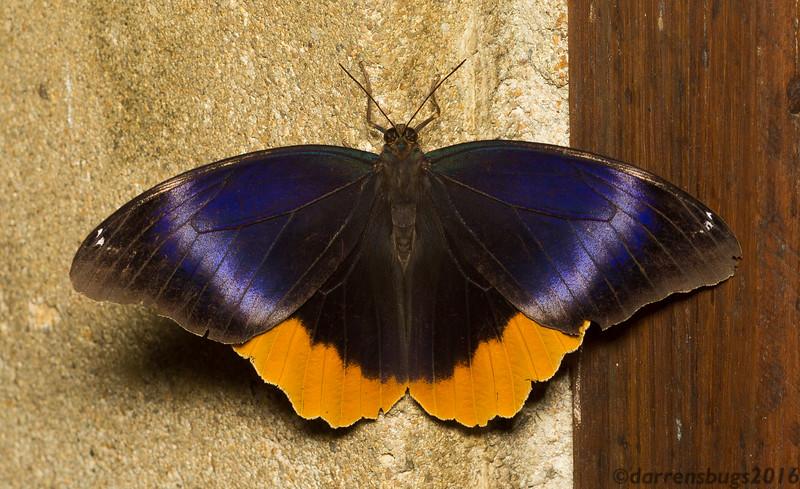 Golden-edged Owl-butterfly, Caligo uranus, from Belize.