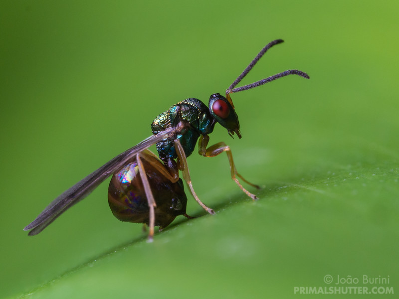 Parasitoid wasp laying eggs in a leaf
