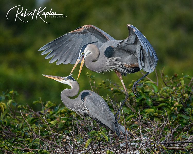 Great Blue Heron-9795.jpg