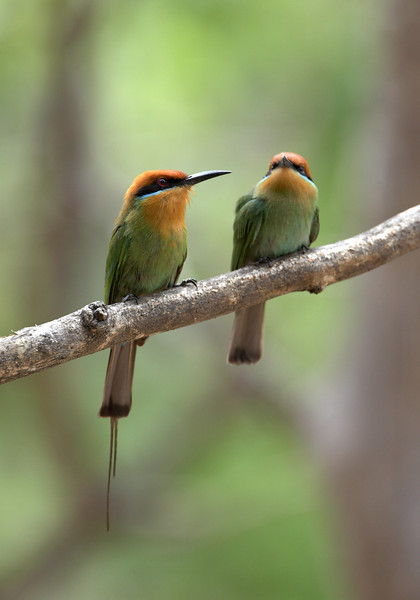 Bohm's bee-eater (Merops bohmii) Male and female pair hunting insects from a branch Jason Gallier