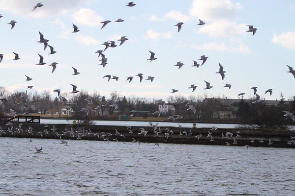 Bonaparte's Gull at Rich Marine Buffalo NY 1.10.12