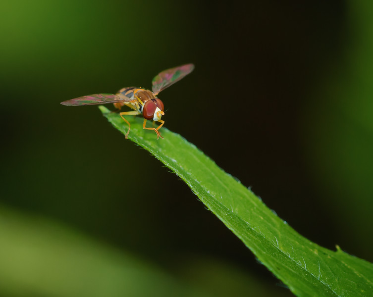 Hoverfly Chill