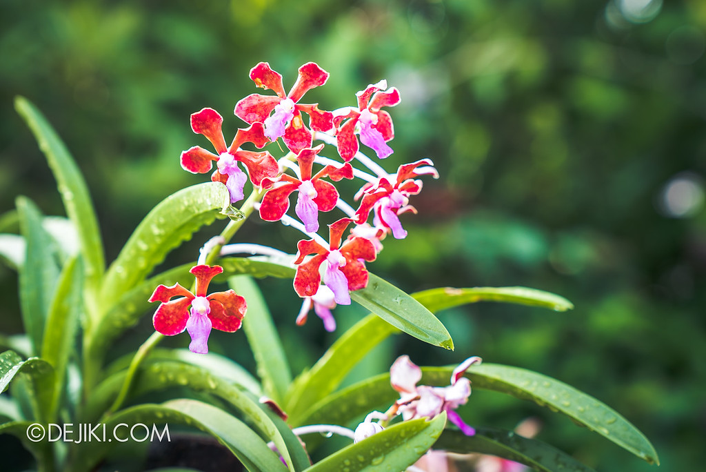 Singapore Garden Festival 2018 - Vanda Valley / closeup red