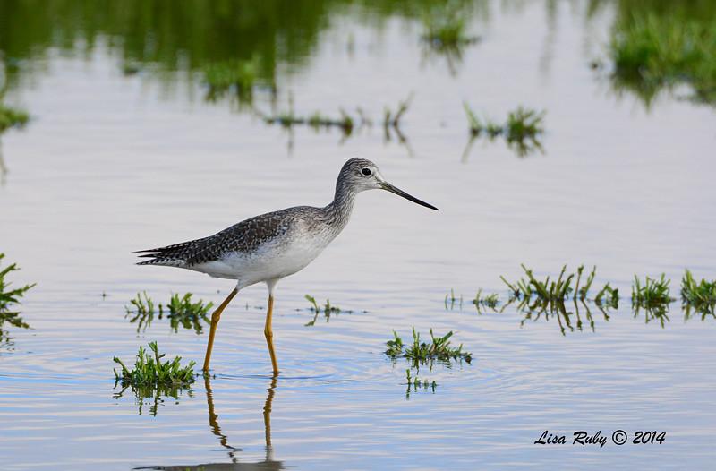 Greater Yellowlegs - 11/30/2014 - San Jacinto Wildlife Area