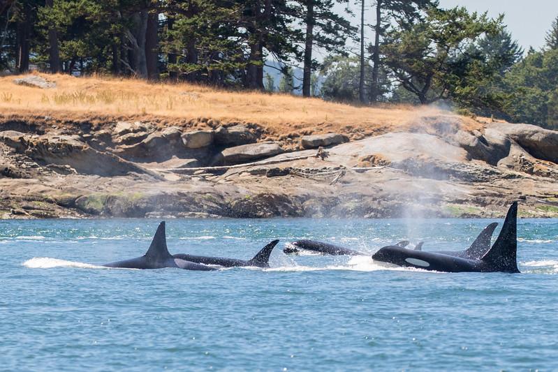 Orcas -  073115-035.jpg