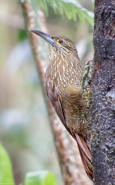 Strong-billed Woodcreeper.