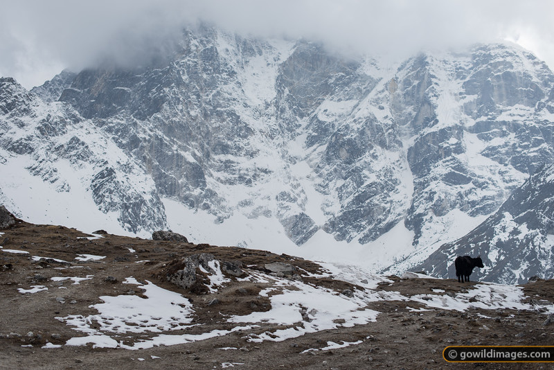 Free range dzopkyo enjoys the icy view at Dughla