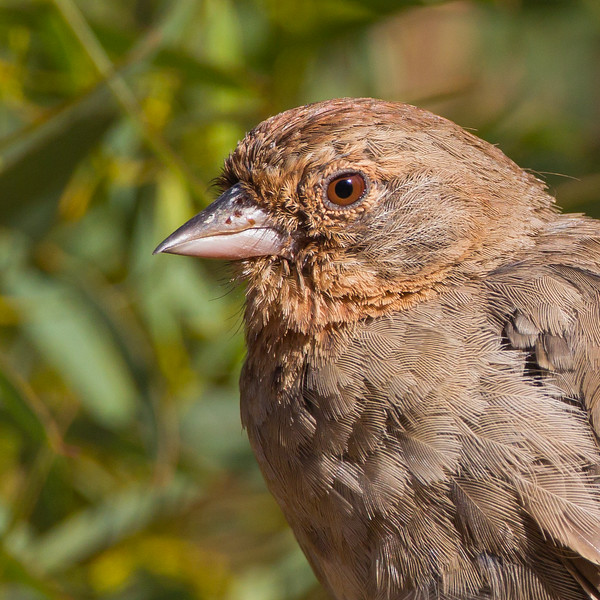 California Towhee Portrait - Santa Cruz, CA, USA