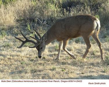 Mule Deer M29422.jpg