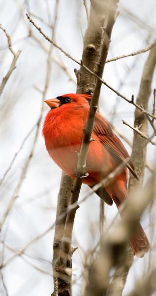 """Cardinal (m) """"Proud Cardinal"""""""