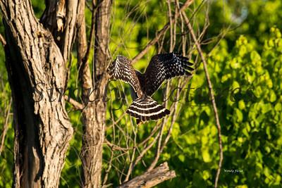 Hawk  012
