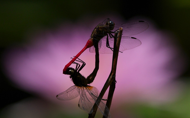 Fiery skimmers mating