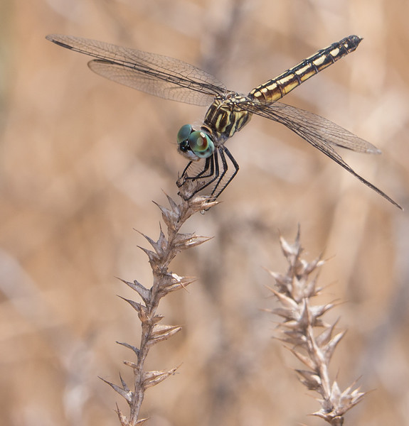 Blue Dasher - Pachydiplax longipennis (F)