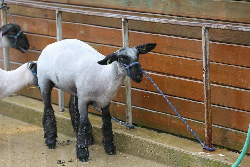 Sheep Show-17.jpg