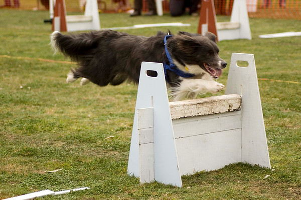 Flyball, Geelong, Aug. 2006 (Part 5)