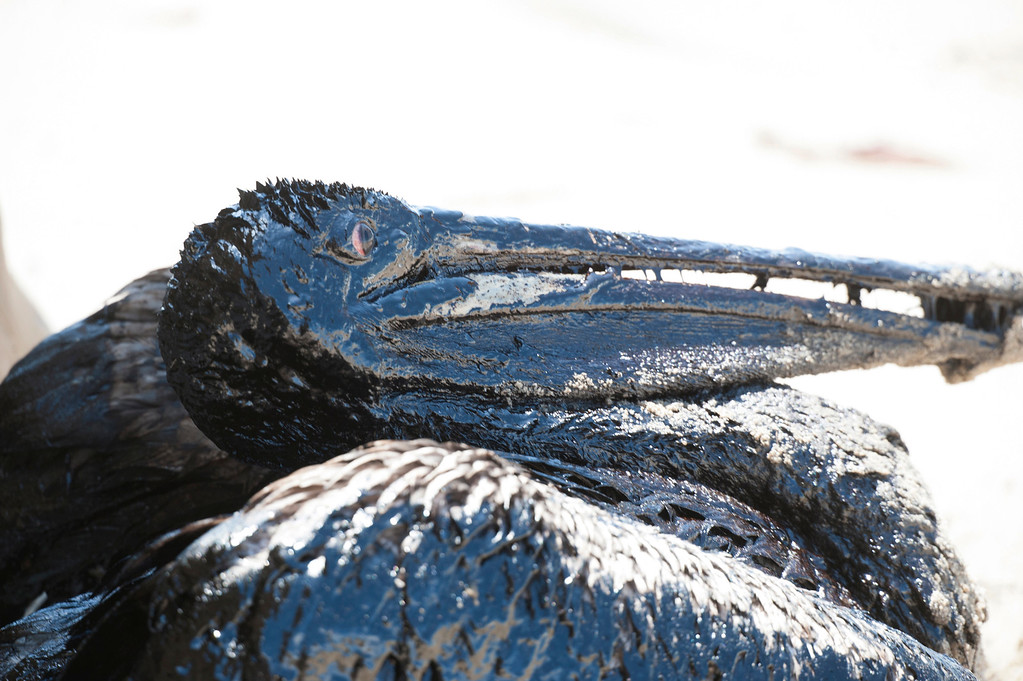 . A pelican covered in oil sits on a beach about a mile west of Refugio State Beach, Calif., Wednesday, May 20, 2015. A broken onshore pipeline spewed oil down a storm drain and into the ocean for several hours Tuesday before it was shut off. (Kenneth Song/The News-Press via AP)