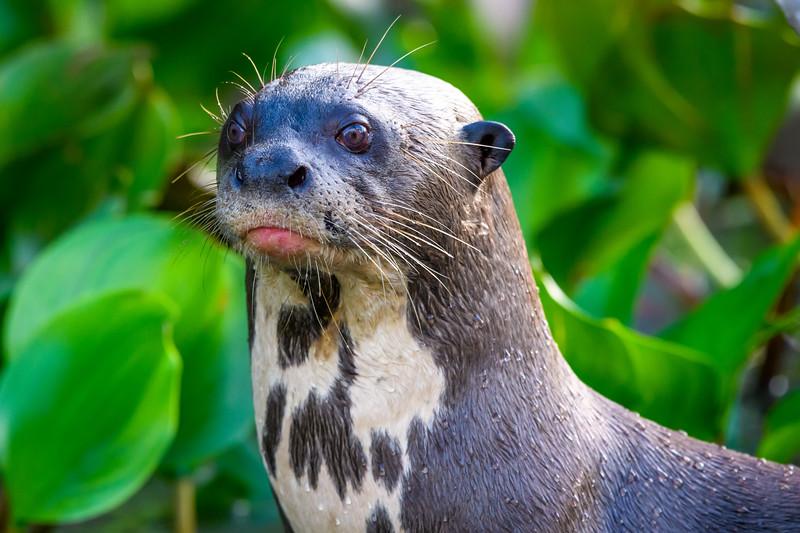 Giant River Otter-2.jpg