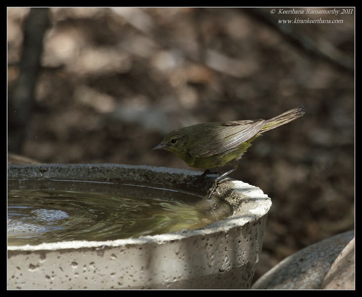 Orange-Crowned Warbler considering a plunge, The Drip, Cabrillo National Monument, San Diego County, California, June 2011