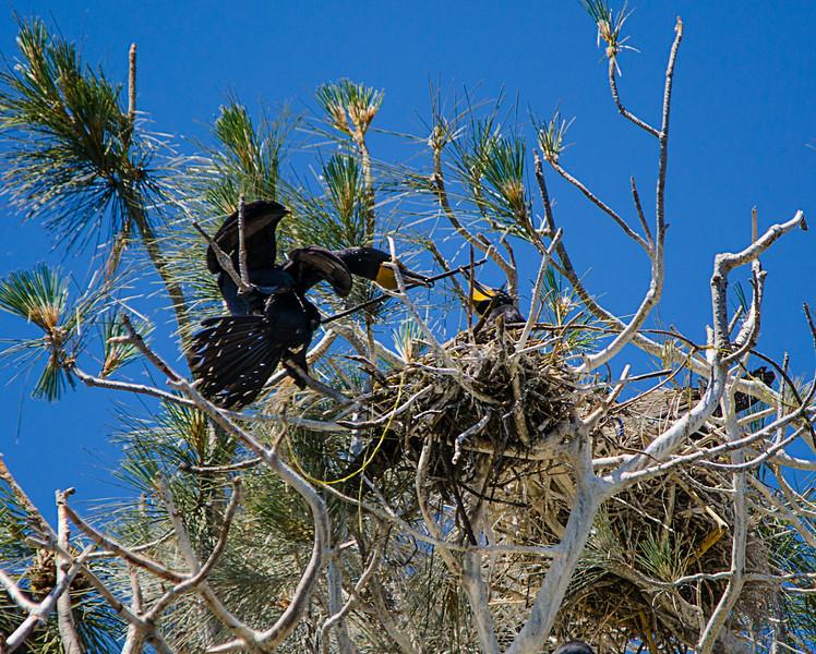 Cormorant handoff.jpg