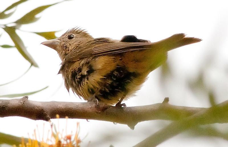 female Summer Tanager @ Bird & Butterfly Garden