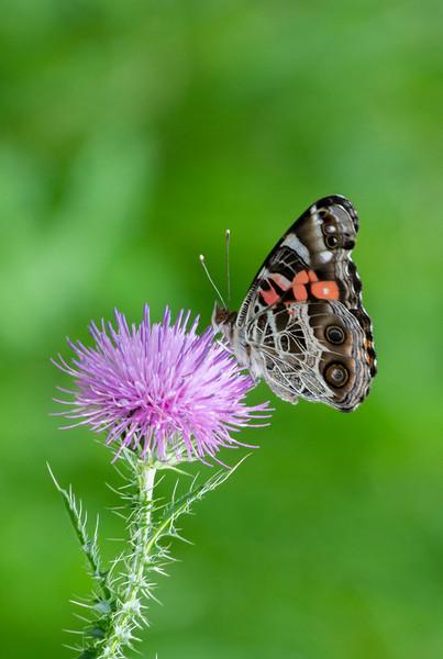 butterfly-thistle-osinga-farm2.jpg