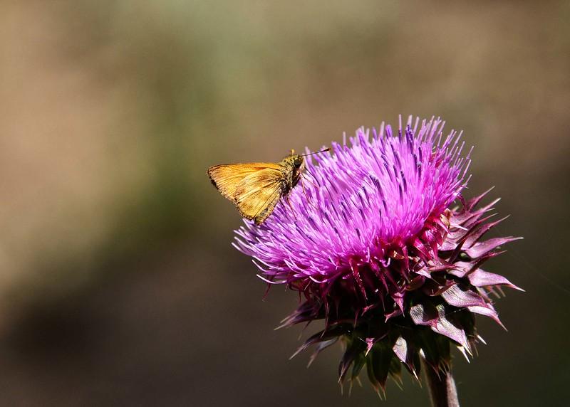 NEA_0396-7x5-Moth on Flower.jpg