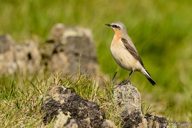 Stenpikker (Oenanthe oenanthe - Northern wheatear)