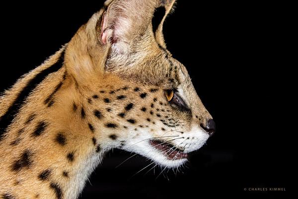 Serval: 2020