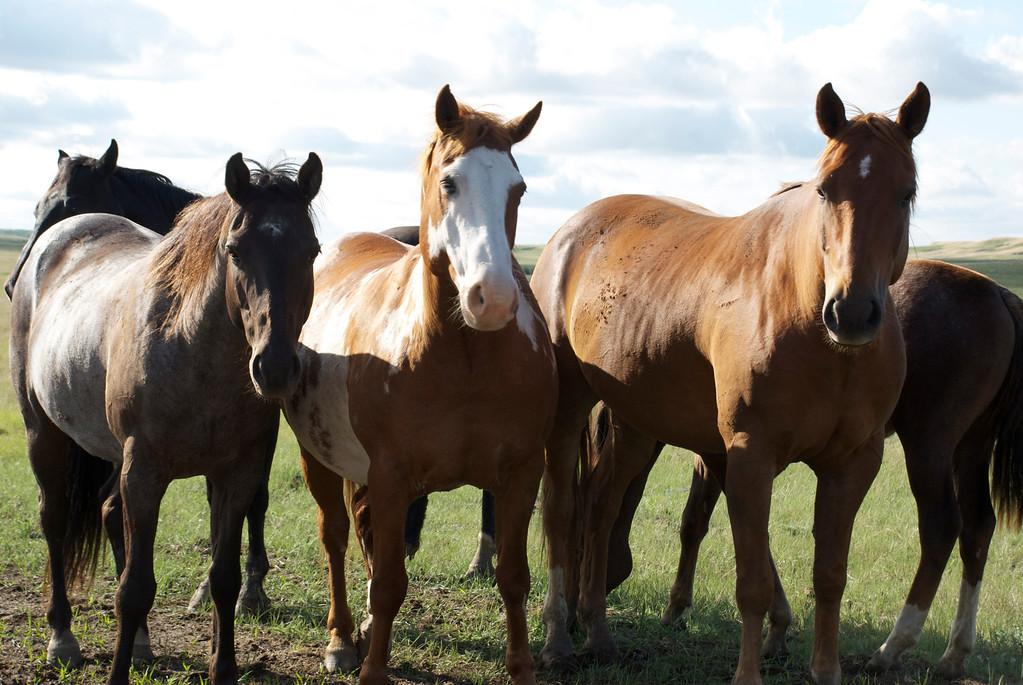 . Wild horses in New Town, North Dakota, USA. (photo credit: © NGT )